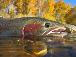 Fall Fishing Rainbow Trout