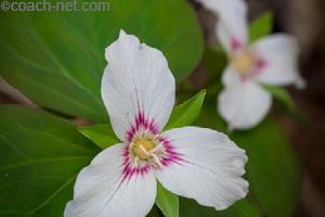 Smoky Mtn Flower