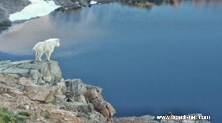 Baby mountain goat - Beartooth highway