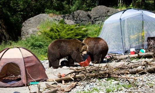 Bears Rummaging Through Food